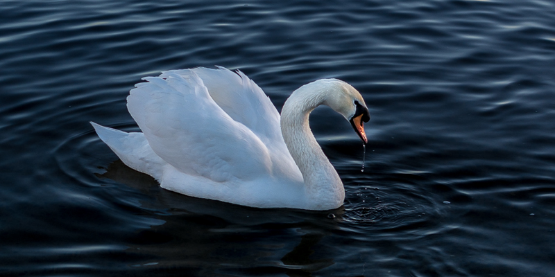 Swan enjoying the early morning sun at Bray Harbour