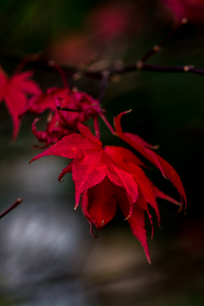 Autumnal Acer in my back garden.