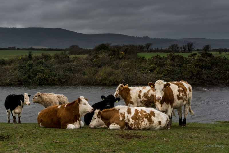 Wicklow Cattle - 08-03-2014