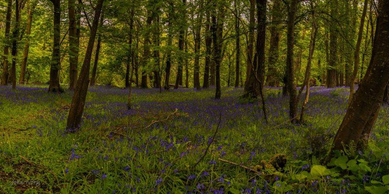 Muckross Bluebells - 04-05-2014 #2