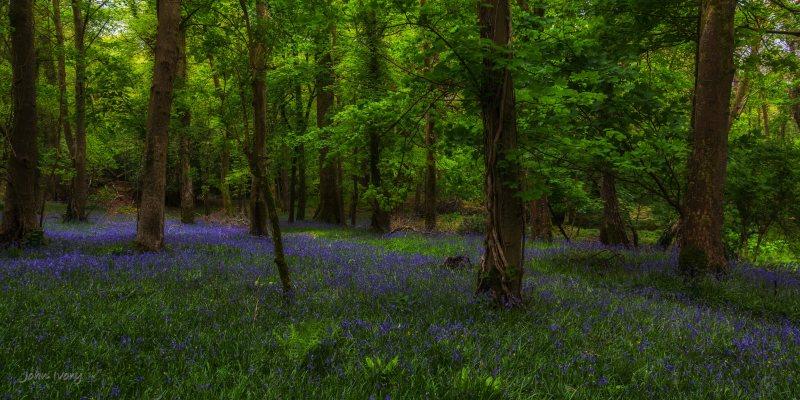 Muckross Bluebells - 04-05-2014 #3