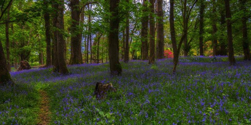Muckross Bluebells - 04-05-2014 #4